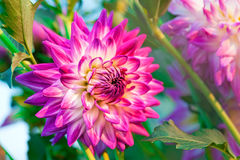 Dahlia flower close-up Stock Photo