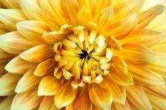 Dahlia flower closeup. Texture background Stock Photo