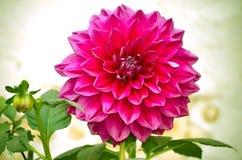 Dahlia Flower closeup Royaltyfri Foto