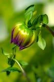 Dahlia Flower closeup Arkivfoto
