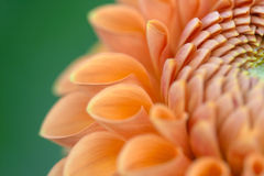Dahlia flower closeup stock photo