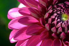 Free Dahlia Flower Closeup Stock Image - 827171