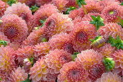 Dahlia flower closeup Royalty Free Stock Photography