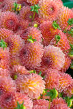 Dahlia flower closeup Royalty Free Stock Images