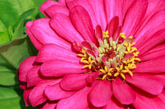 Dahlia Flower Closeup al sole che mostra stickma giallo Fotografia Stock Libera da Diritti