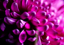 Dahlia flower closeup. Dahlia autumn flower petals closeup Stock Image