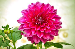Dahlia flower closeup Royalty Free Stock Photo