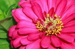 Dahlia Flower Closeup en la luz del sol que muestra stickma amarillo Fotografía de archivo libre de regalías