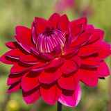 Dahlia flower,closeup of red dahlia flower in full bloom in the Stock Photos
