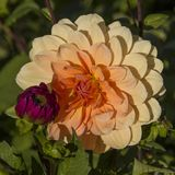 Dahlia flower,closeup of yellow with red dahlia flower in full b Stock Photography