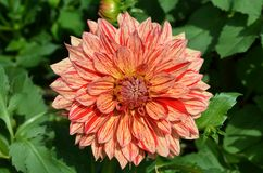 Dahlia flower. Royalty Free Stock Photo