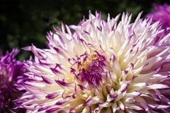 Dahlia Flower colorée Photos libres de droits
