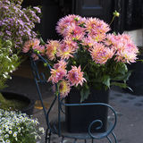 Dahlia Flower colorée photo stock