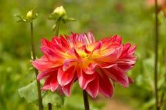 Dahlia Flower coloreada sola puesta del sol Imagenes de archivo