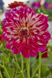 Dahlia flower, colorful background Royalty Free Stock Photography