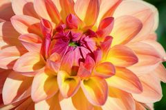 Dahlia flower. Colorful dahlia flower with morning dew drops royalty free stock images