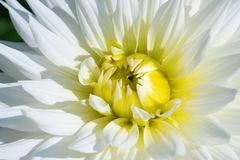 Dahlia flower. Colorful dahlia flower with morning dew drops stock images