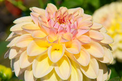 Dahlia flower Stock Photos