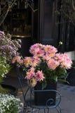 Dahlia Flower colorida Imagens de Stock