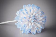 Dahlia Flower com um fundo cinzento Imagem de Stock