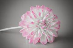 Dahlia Flower com um fundo cinzento Imagens de Stock Royalty Free
