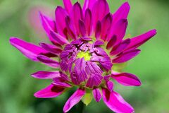 Dahlia, Flower, Composites Royalty Free Stock Images
