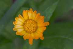 Dahlia Flower con i petali di giallo arancio Immagine Stock Libera da Diritti