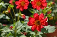 Dahlia Flower con una abeja Foto de archivo libre de regalías
