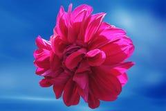 Dahlia flower. Dahlias flower in bluesky with lighting Stock Photos