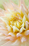 Dahlia flower with dew drops Stock Image
