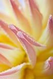 Dahlia flower with dew drops Stock Photos