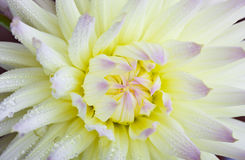 Dahlia flower with dew drops Stock Photo