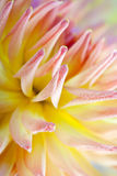 Dahlia flower with dew drops. Closeup of dahlia flower macro studio shot Royalty Free Stock Photography