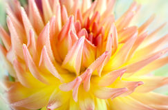 Dahlia flower with dew drops Stock Images