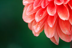 Dahlia flower with droplets Stock Photos