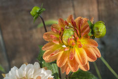 Dahlia flower. Drops of dew. Close-up Stock Photography