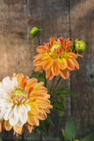 Dahlia flower. Drops of dew. Close-up. On the background of wooden wall Stock Images