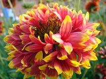 Dahlia Flower fotografie stock