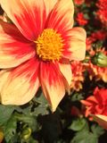 Dahlia Flower. S of the Garden in Mainau royalty free stock photography