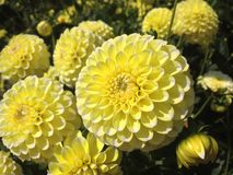 Dahlia Flower. S of the Garden in Mainau royalty free stock image