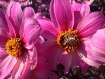 Dahlia Flower. S of the Garden in Mainau Royalty Free Stock Image