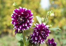 Dahlia flower. Flowers. Magic background with excellent dahlias royalty free stock photography