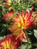 Dahlia Flower. Of the Garden in Mainau/Germany stock image