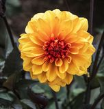 Dahlia Flower stock images