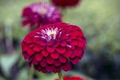 Dahlia flower Royalty Free Stock Image