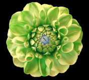 Dahlia  flower, green, blue center, black  background isolated  with clipping path. Closeup. With no shadows.  Nature Royalty Free Stock Photography