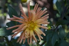 Dahlia flower is growing on the autumn flower-bed.  Stock Photography