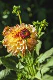 Dahlia flower grown in wild field.  royalty free stock photo