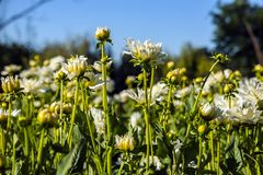 Dahlia flower grown in wild field.  stock photography