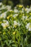 Dahlia flower grown in wild field.  stock image